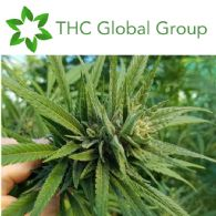 THC Global Group Limited (ASX:THC) Global Share Purchase Plan Update