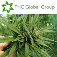 THC Global Group Limited (ASX:THC) Granted Cannabis Manufacture Licence
