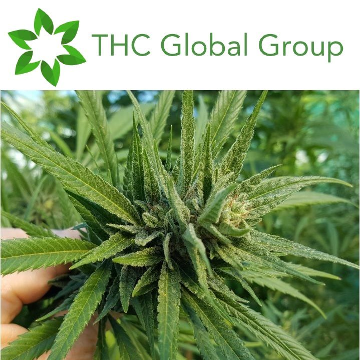 THC Global Share Purchase Plan Update